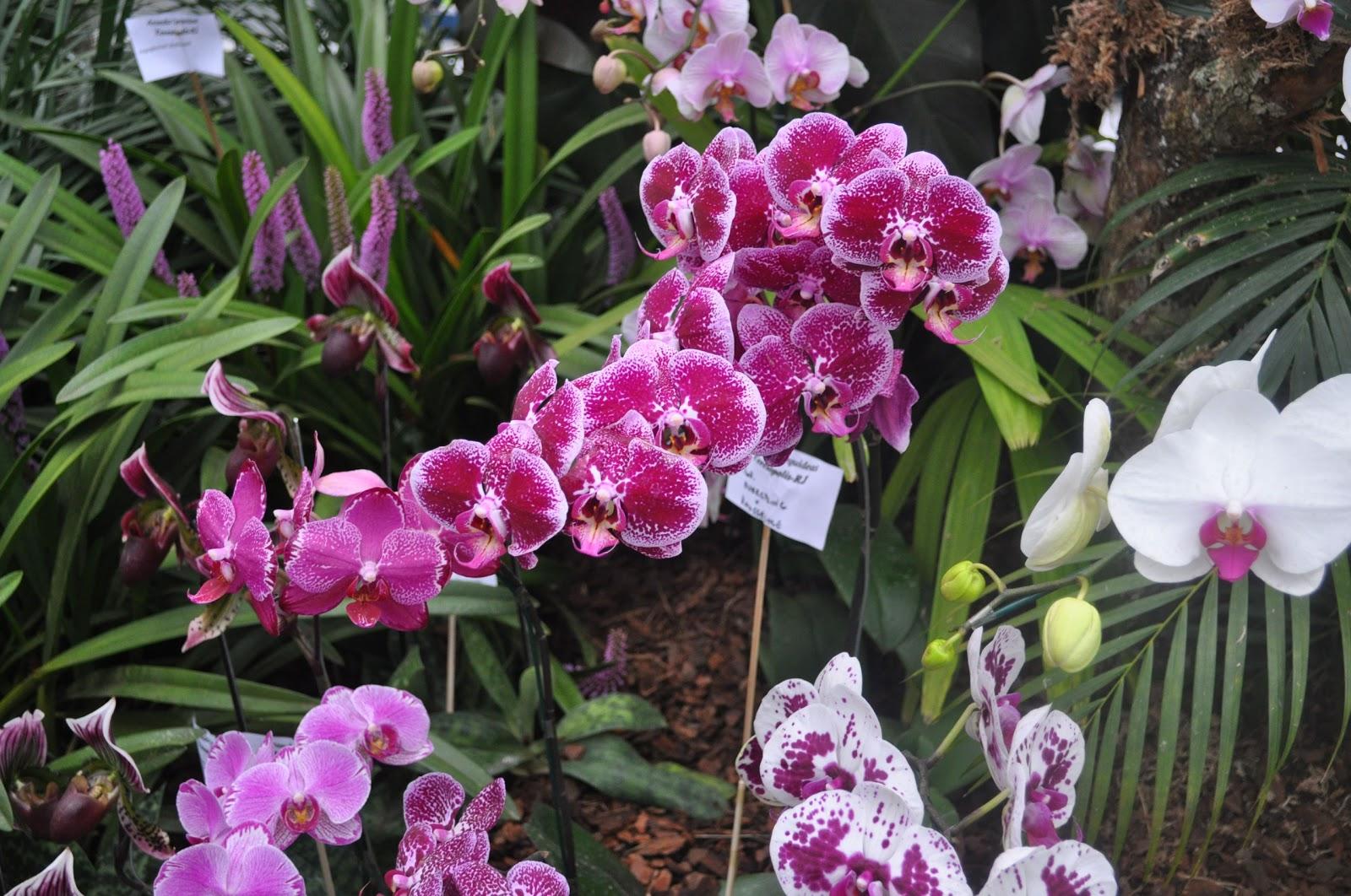 Paixão por orquídeas Meu orquidário: Guia da Phalaenopsis #9E2D77 1600x1062