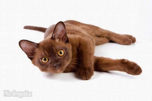 Dziedziczenie umaszczenia burmskiego u kotów
