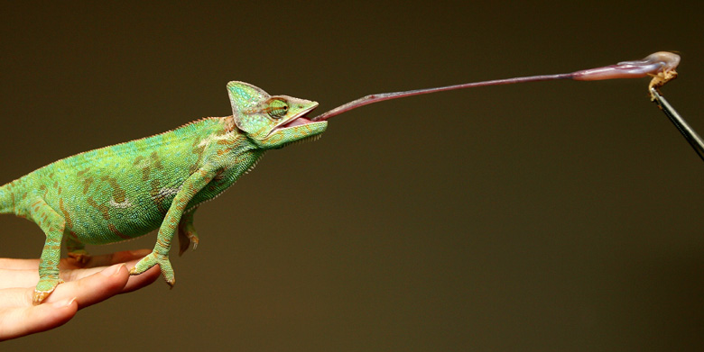 chameleon%2527s+long+sticky+tongue_MyClipta5.jpg