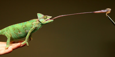 chameleon's long sticky tongue