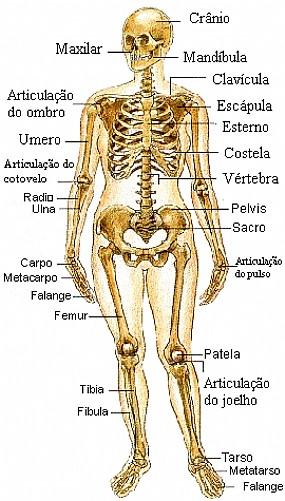 huesos del sistema esquelético humano