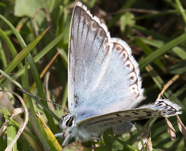 Chalkhill Blue, Polyommatus coridon.  Hutchinson's Bank, 29 July 2015.