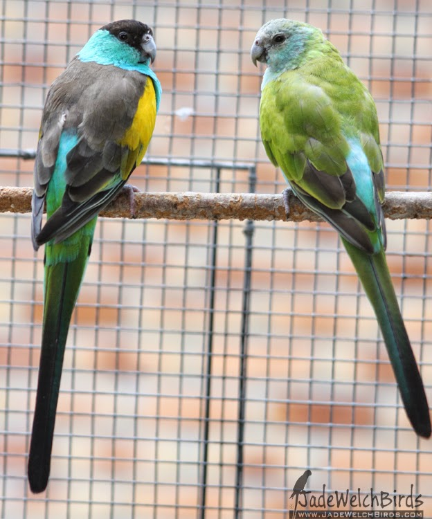 pair hooded parrots jadewelchbirds jade welch breeding