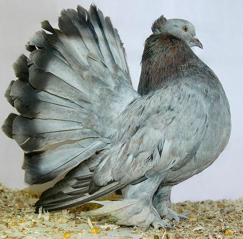Mis amigas las palomas: Fotos palomas de raza