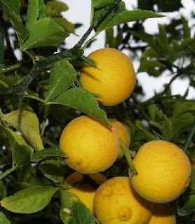 bergamot-orange-Citrus-bergamia-Risso