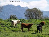 Les vaques de Can Carriel