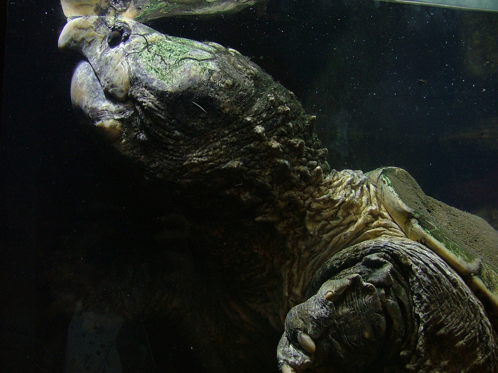 the characteristics of the alligator snapping turtle Often confused for one another the prehistoric looking alligator snapping turtle and the more widespread common snapping turtle are two very get ready to take a journey deep into the remote swamplands of the eastern united states with adventurer and animal expert coyote peterson as you.