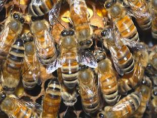 Le api Zombie: naturalmente horror!