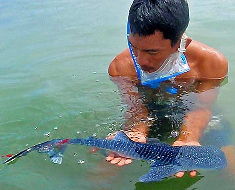 Whale shark dolphin photos download photos for World largest fish