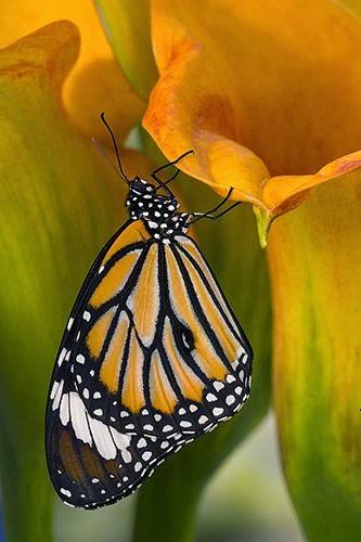 http://gulinphoto.com/gallery/butterflies/butterflies_v_08/