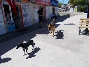 """""""The Odd Couple Dogs"""". A large German Shepherd trailing a stray."""