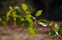 Quaking aspen (Populus tremuloides)