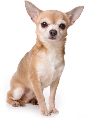Chihuahua Short Coated Dog Breed Pictures