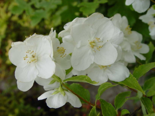 Ilclanmariapia fior d 39 angelo for Nomi di fiori bianchi