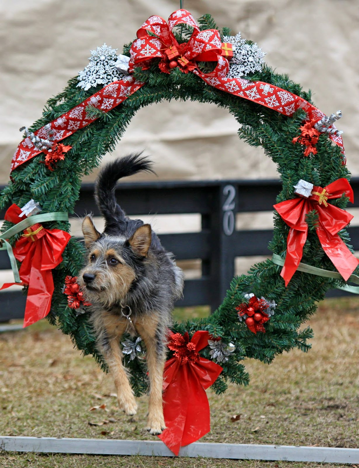 Lupin jumping through a holiday wreath