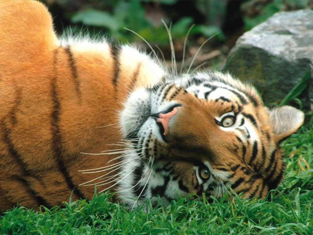 external image Siberian+tiger+%2528Panthera+tigris+altaica%2529+beautiful+dangerous+endagered+animal+picture.jpg