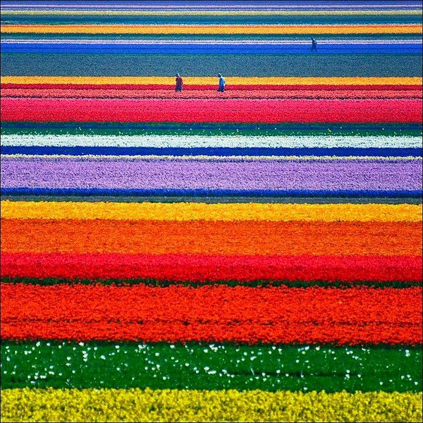 Tulip-Fields-in-Netherlands.jpg