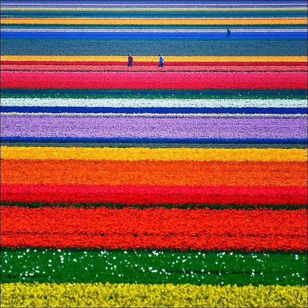 Tulip-Fields-in-Netherlands.jpg