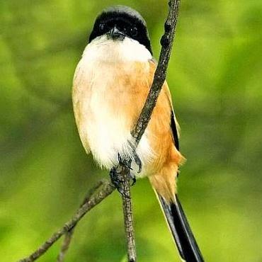 Perawatan Sederhana Burung Cendet Agar Rajin Berkicau