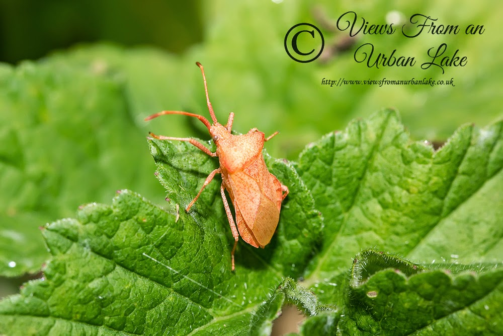 Dock Bug (I think but Pink/Orange?) - Cosgrove, Milton Keynes