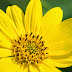 Common Tall Sunflower: Yellow Beauty