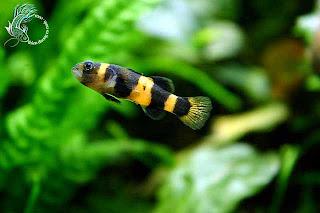 cá bóng ong vàng