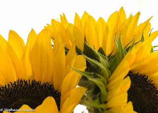 three yellow sunflowers on a white background