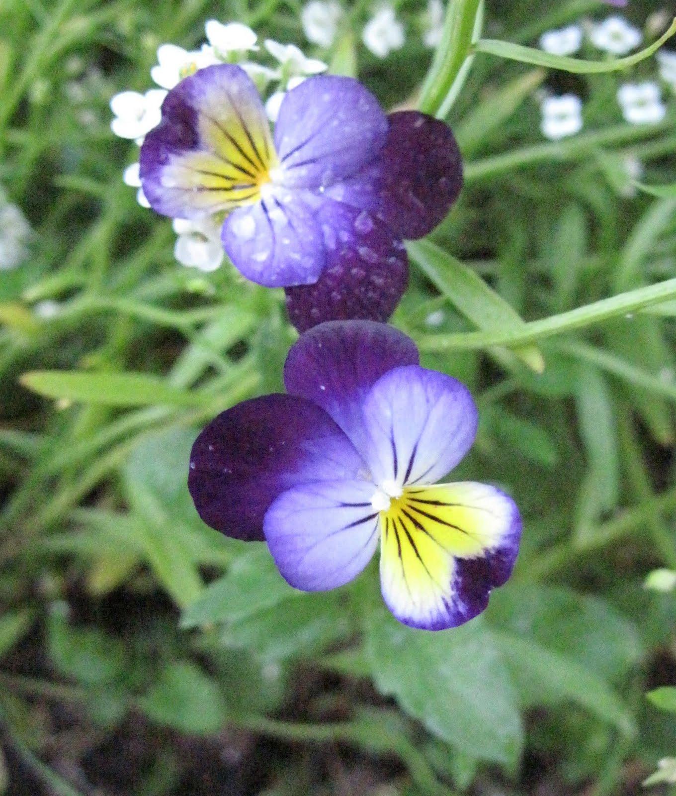 Il giardino sul lago agosto 2011 for Viola cornuta inverno