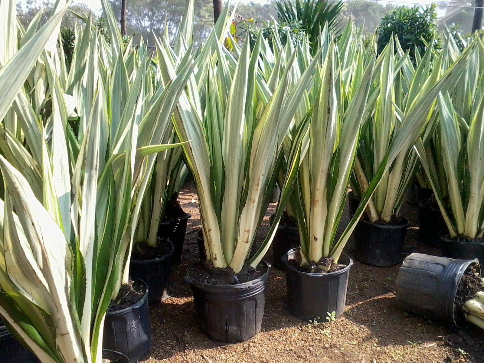 Paisagismo f cil plantas ornamentais de sol for Plantas para pleno sol