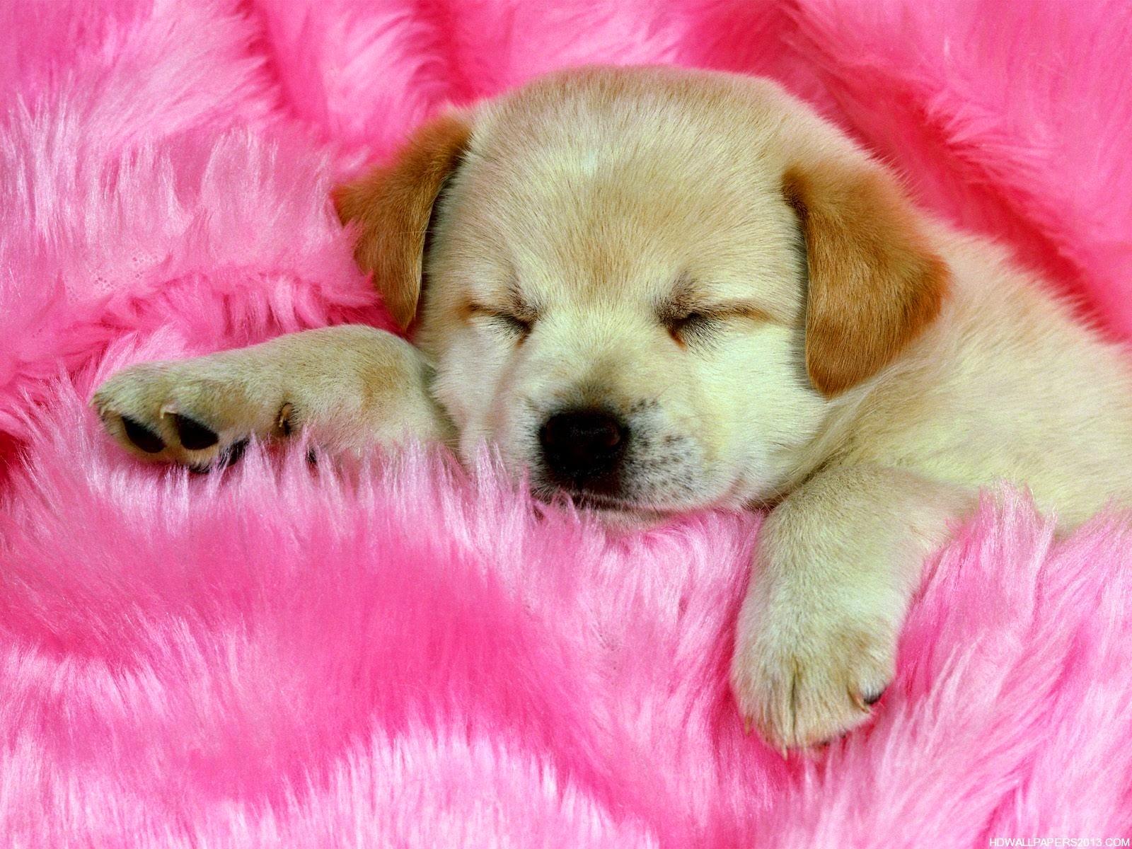 Brown sleeping Dog