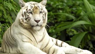 Fakta tentang Harimau Putih