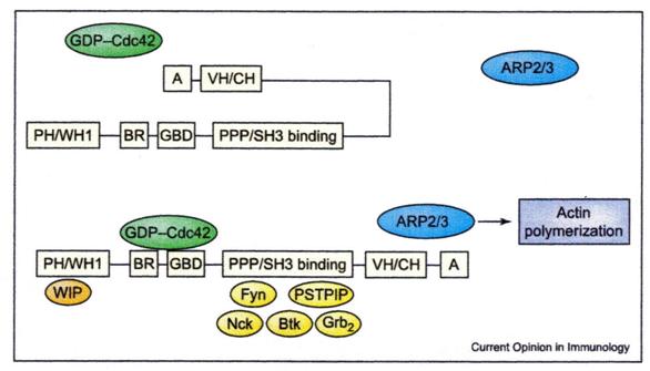 wiskottaldrich syndrome protein family was protein