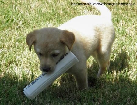 labrador puppies pics