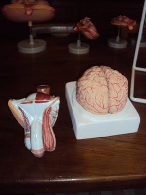amazing models organo sessuale maschile e cervello
