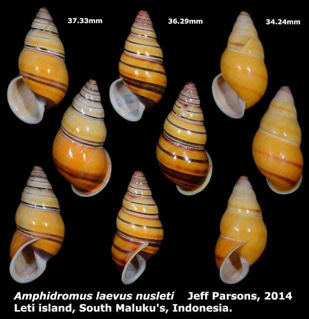 Amphidromus laevus nusleti 34.24 to 37.33mm