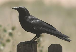 Burung Gagak Tanda Kedatangan Hantu