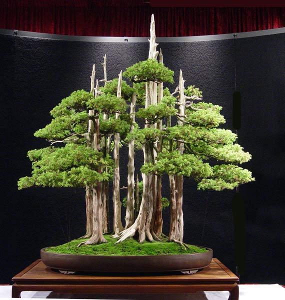 ficus benjamina an introduction to bonsai. Black Bedroom Furniture Sets. Home Design Ideas