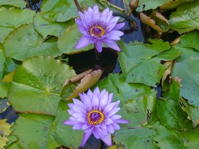 大阪府交野市・大阪市立大学 理学部付属 植物園 熱帯スイレンの花