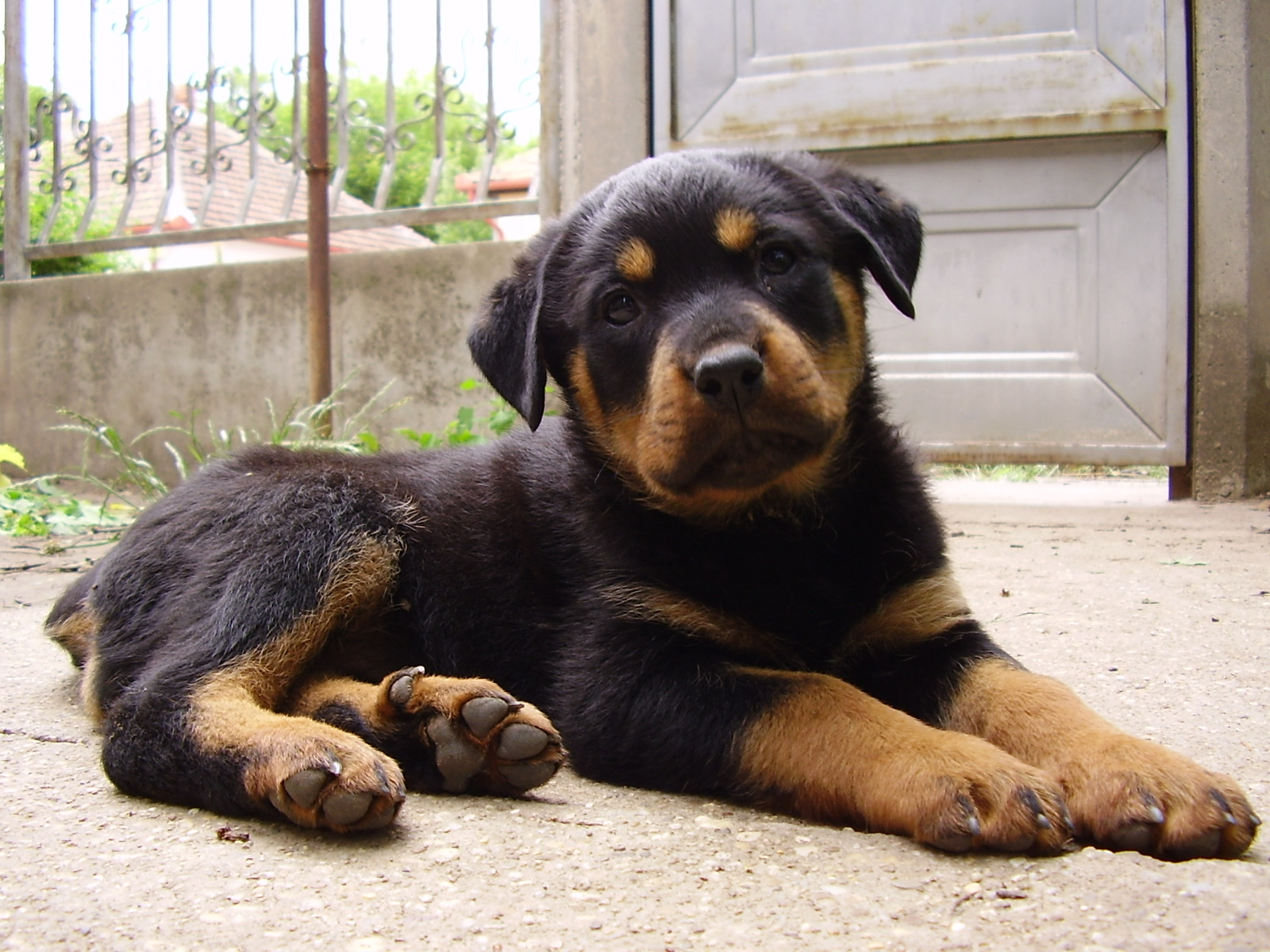 Cute Puppy Dogs: Rottweiler puppies