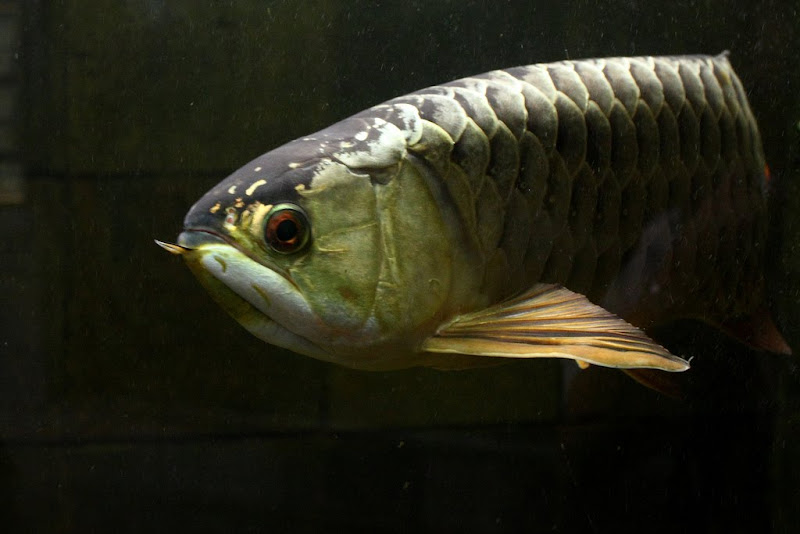 Asian Arowana Fish Pictures Exotic Tropical Ornamental Fish Photos ...
