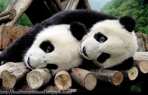 Two sleeping panda.