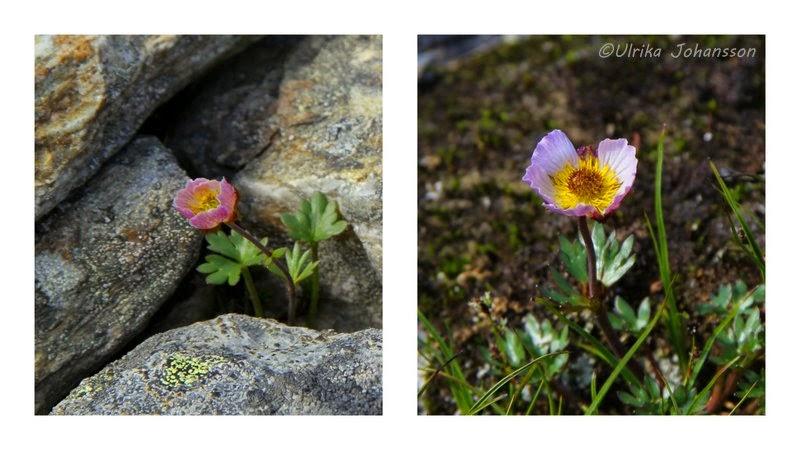Isranunkel Ranunculus glacialis