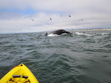 Kayaking: Humpback Whales Off Moss Landing!