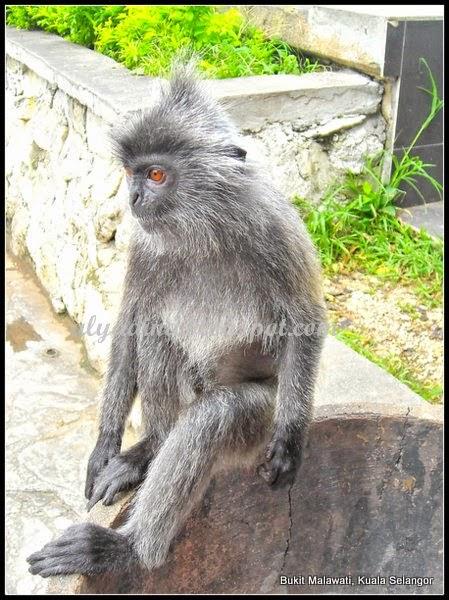 Monyet Kuala Selangor