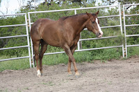 Sherman-My Mom's Quarter Horse Gelding