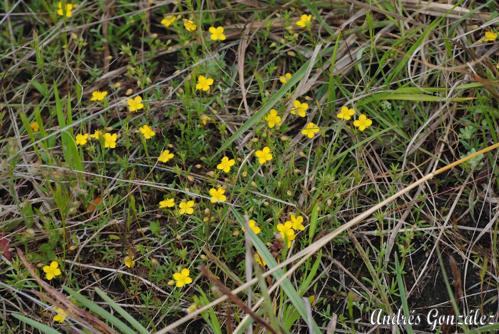 Fotos de flora nativa y adventicias de uruguay scoparia for Suelo pedregoso