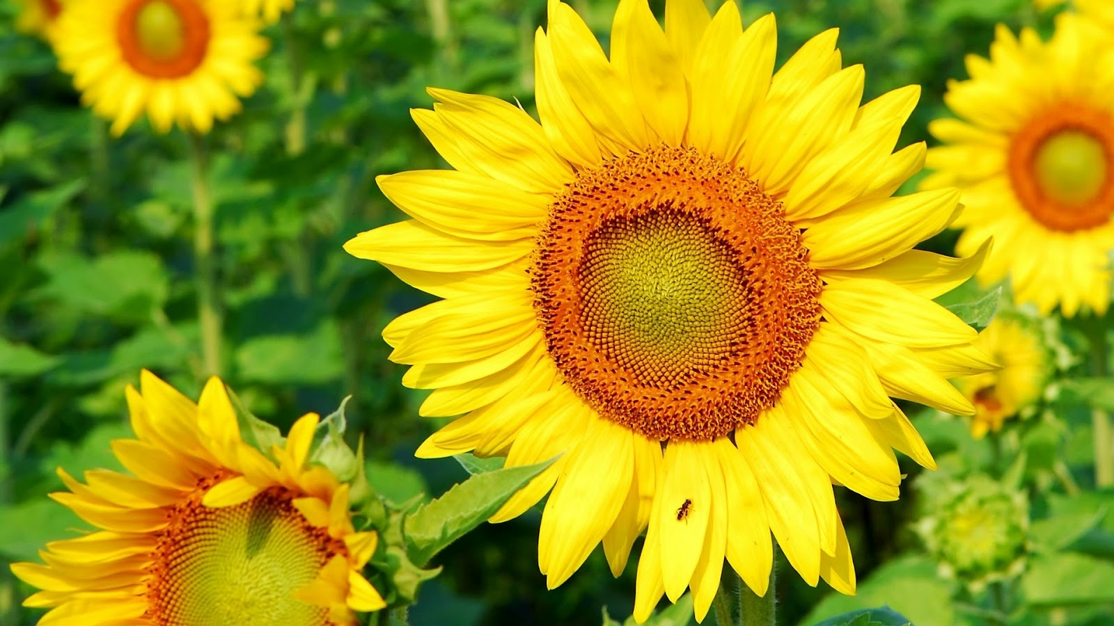Your Wallpaper Sunflower Wallpaper