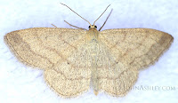 """Scopula siccata"" moth in MT (c) John Ashley"
