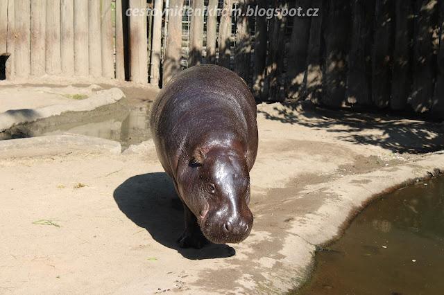 hroch // a hippo