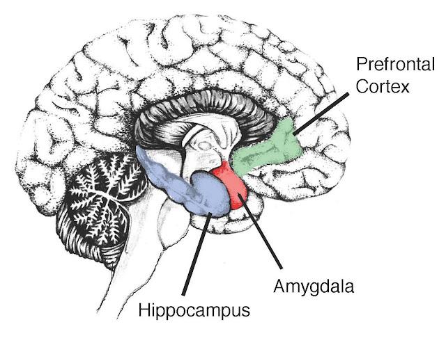 Brain Hippocampus4